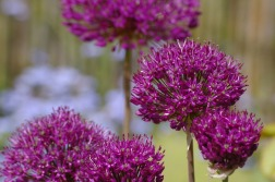 allium - autumn flower