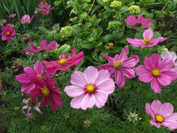 anemone - autumn flower