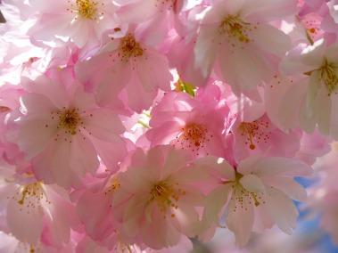 Cherry Blossom - spring flower