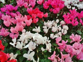 cyclamen - winter flower