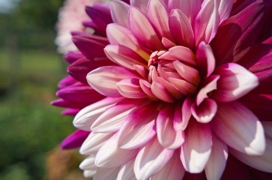 dahlia - summer flower-1