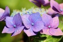 hydrangea-summer flower