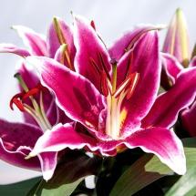 lily - summer flower