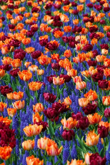 Muscari and tulips - spring flowers